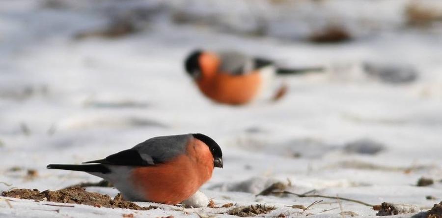 Нийслэлд 41 зүйлийн 6310 бодгаль шувуу өвөлжжээ
