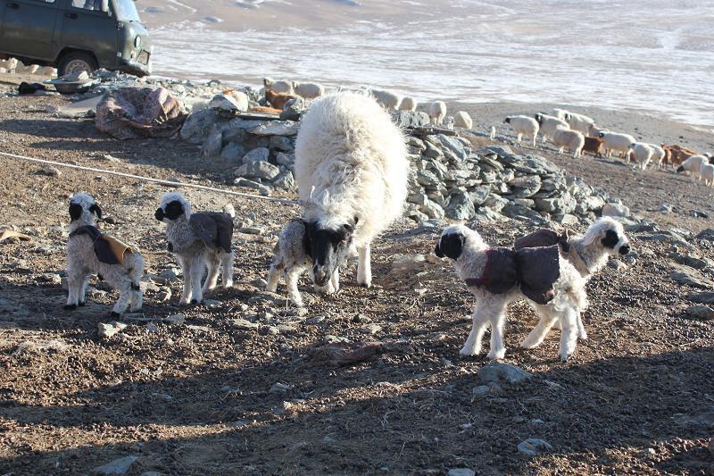 Баянхонгор аймагт таван ихэр хурга төржээ
