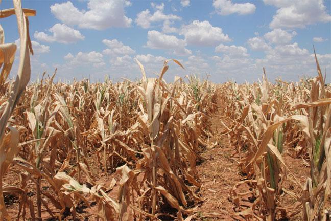 Гангийн улмаас 90.3 мянган га талбайгаас ургац алдлаа